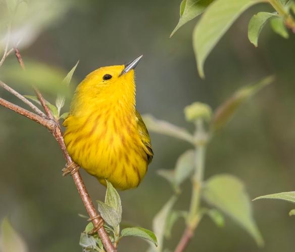 yellow warbler near nest