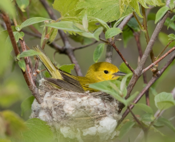 yellow warbler turning in nest