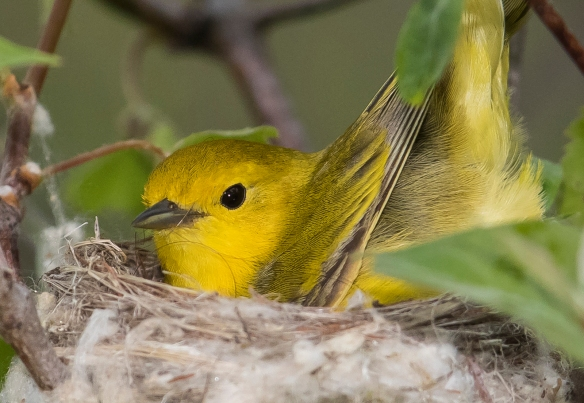 Yellow warbler with nest material hair