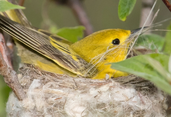 Yellow warbler with nest material plant fibers