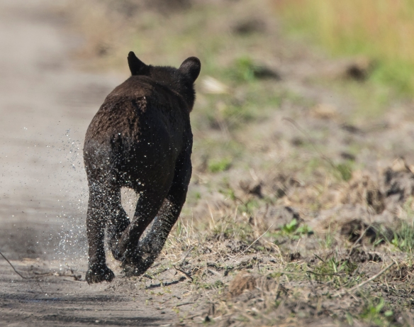 young black bear running after crossing canal