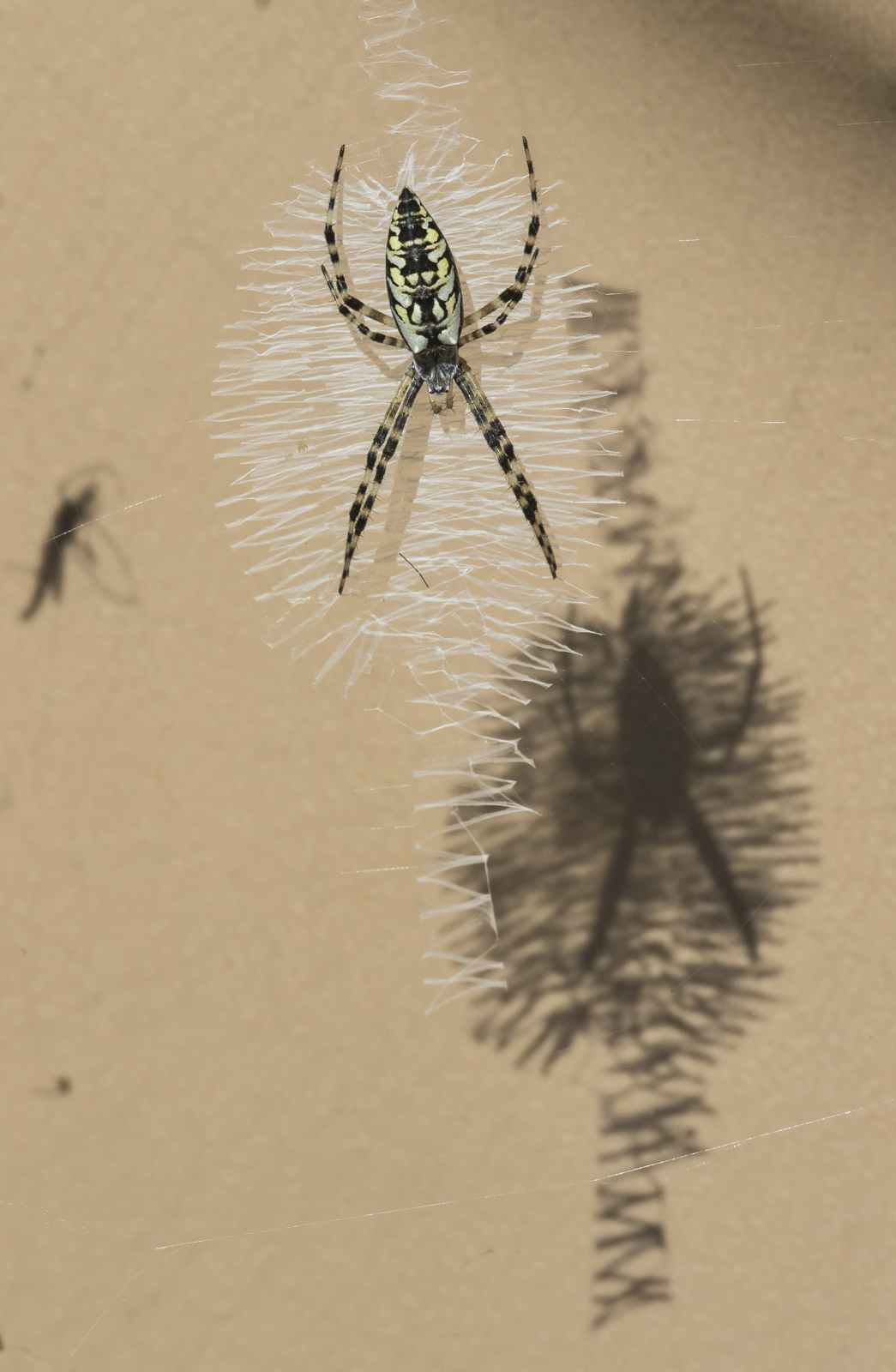 Argiope and shadow