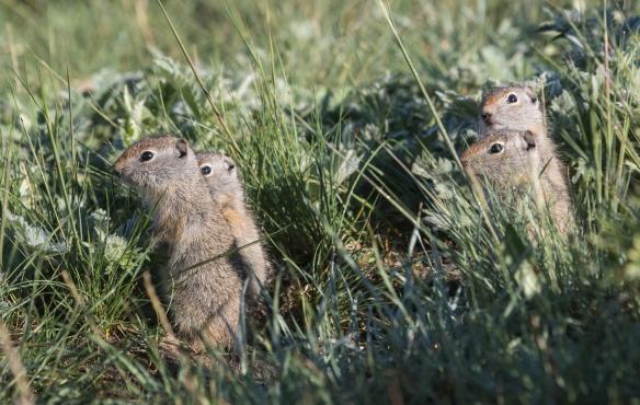 Baby Uinta Ground Squirrels