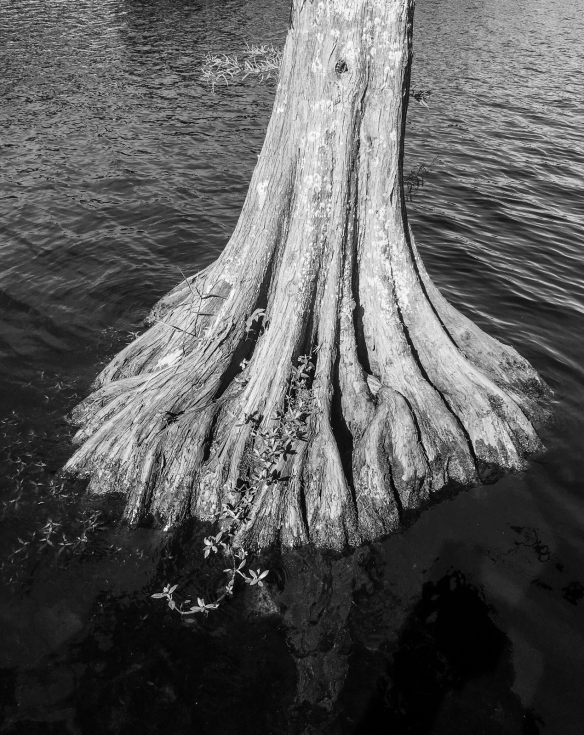 bald cypress trunk b and w