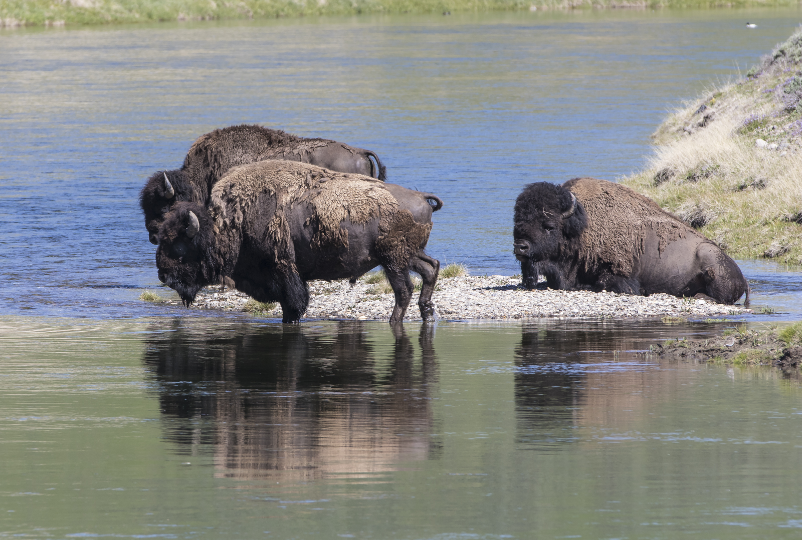 Bison along the Yellowstone River in Hayden Valley