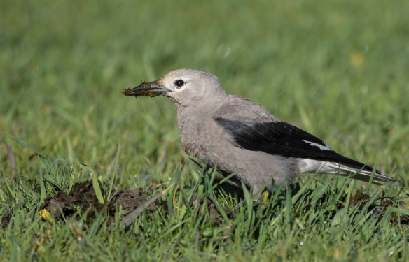 Clark's nutcracker with bison scat pile