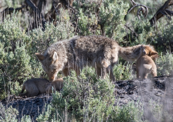 Coyote pups and parent playing