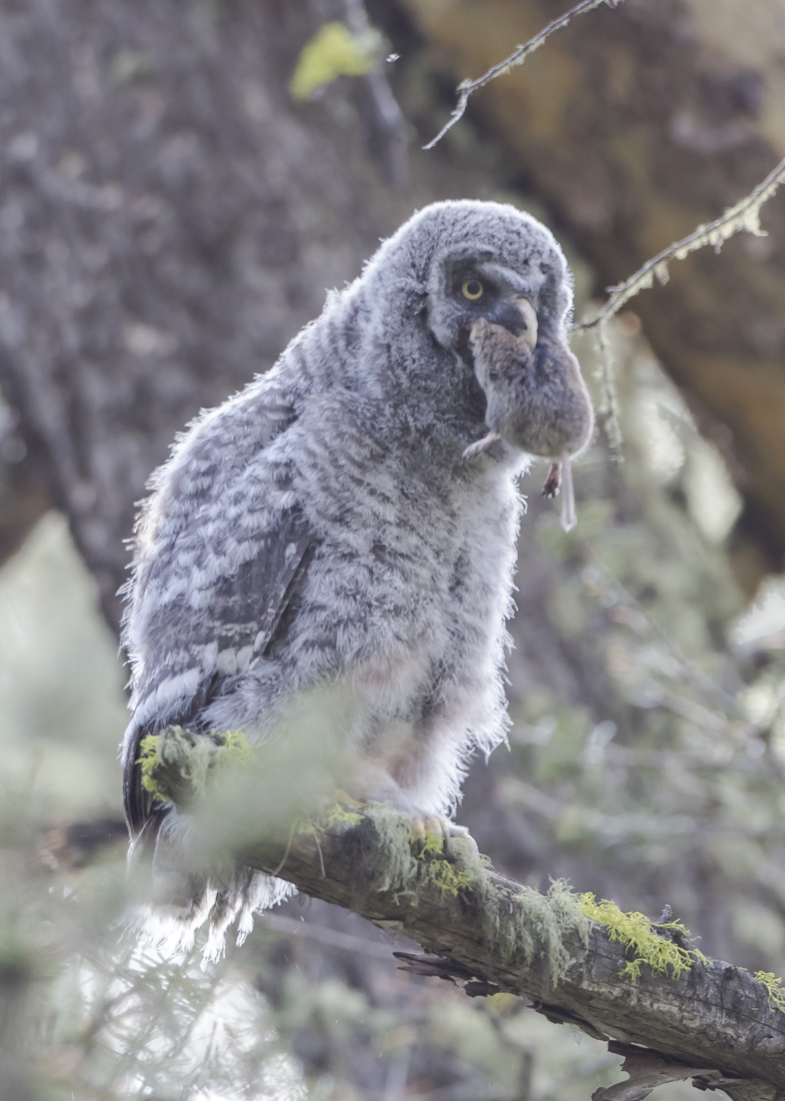 Great Gray chick with prey 3