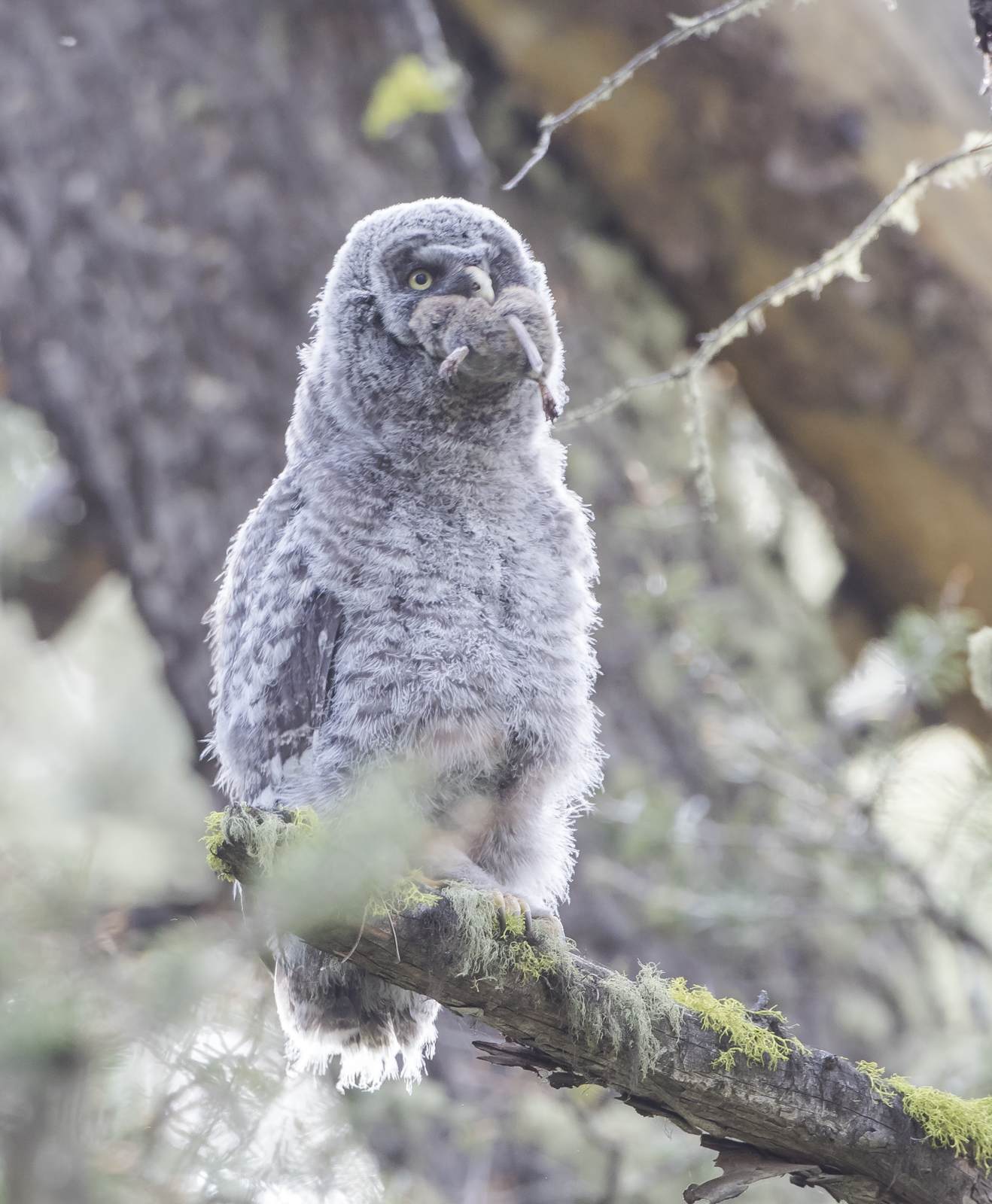 Great Gray chick with prey