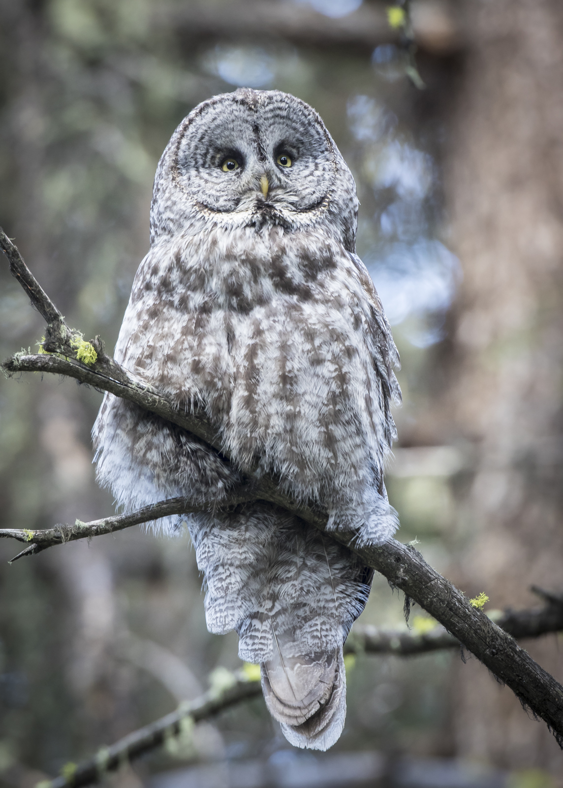 great horned owl | Roads End Naturalist