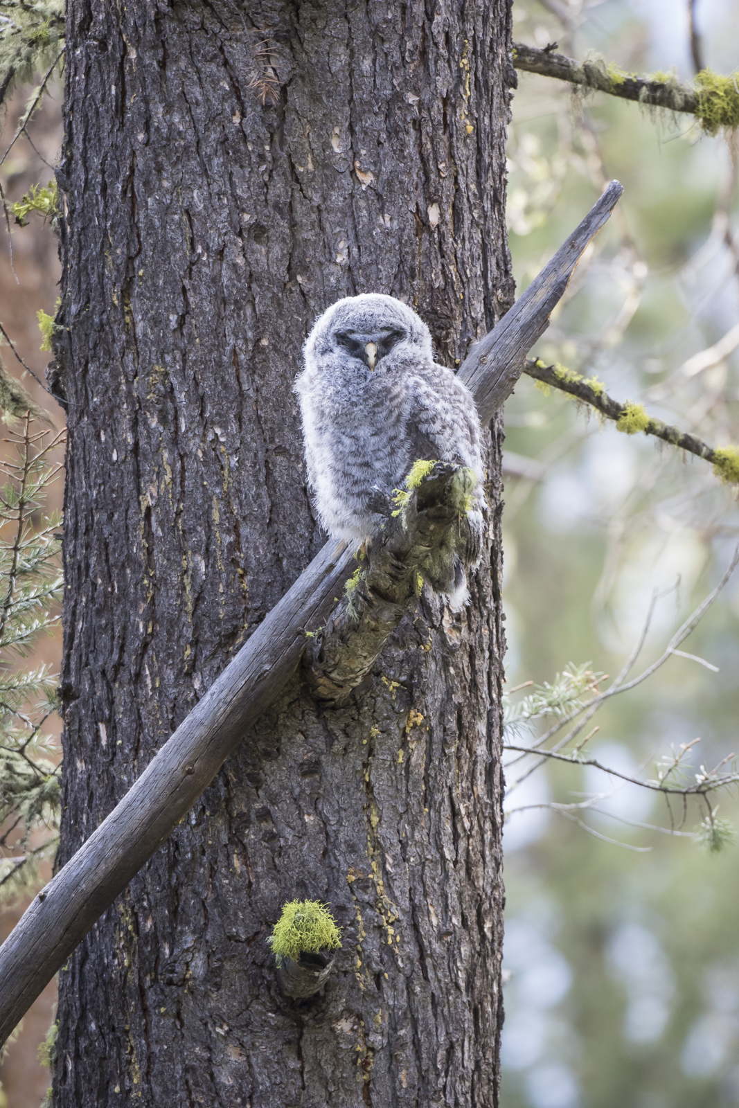 Great Gray owl fledgling