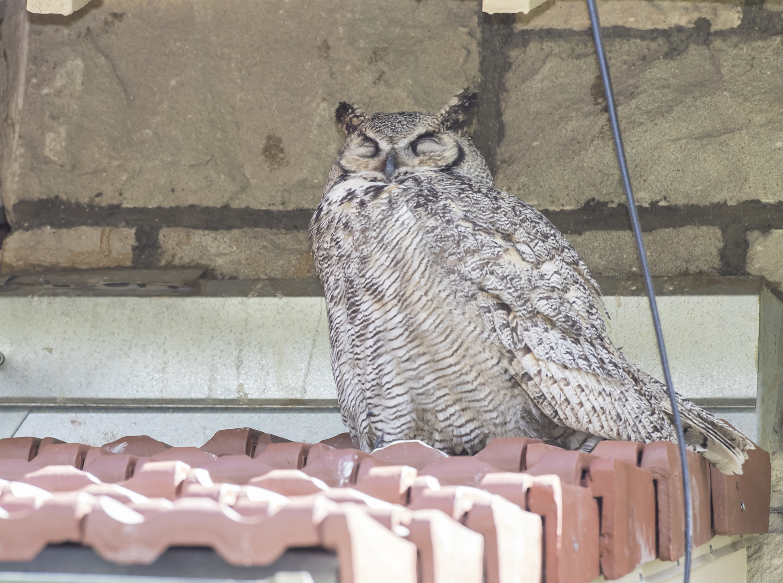 Great Horned Owl adult