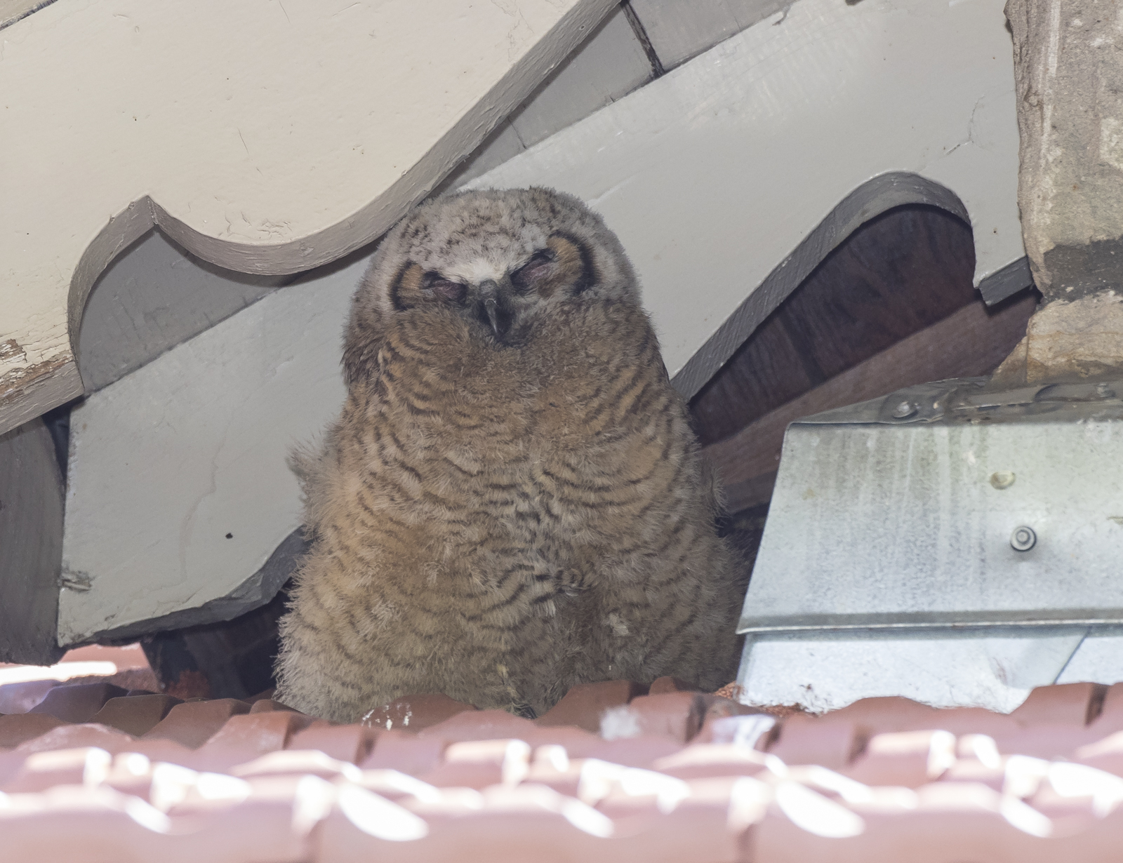 Great Horned Owl chick under eave