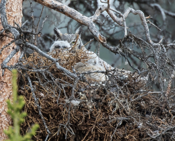 Great horned owl with chick in nest in Beartooths