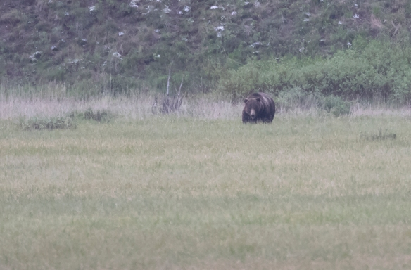 Grizzly in Round Prairie