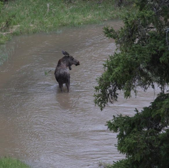 Moose in Soda Butte Creek