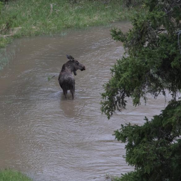 Moose in Soda Butte Creek