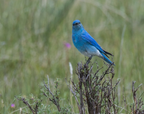 Mountain Bluebird male 1
