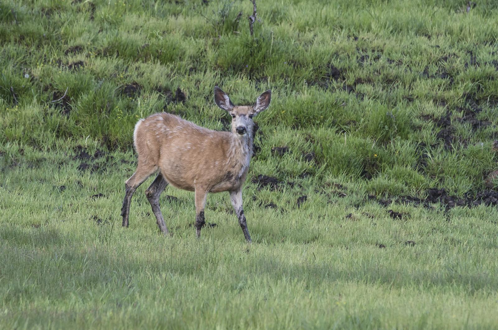 Nule Deer in mud in Lamar