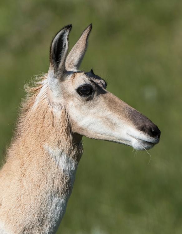 Pronghorn doe
