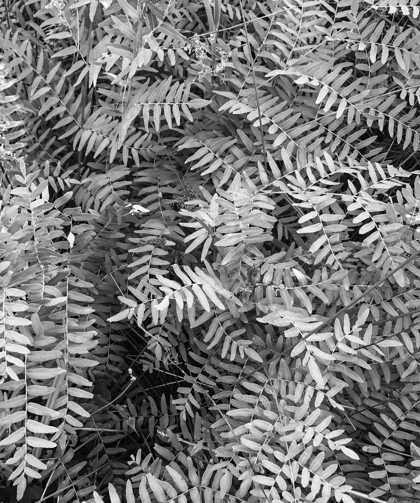 Royal fern b and w