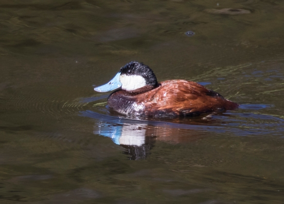 Ruddy duck male
