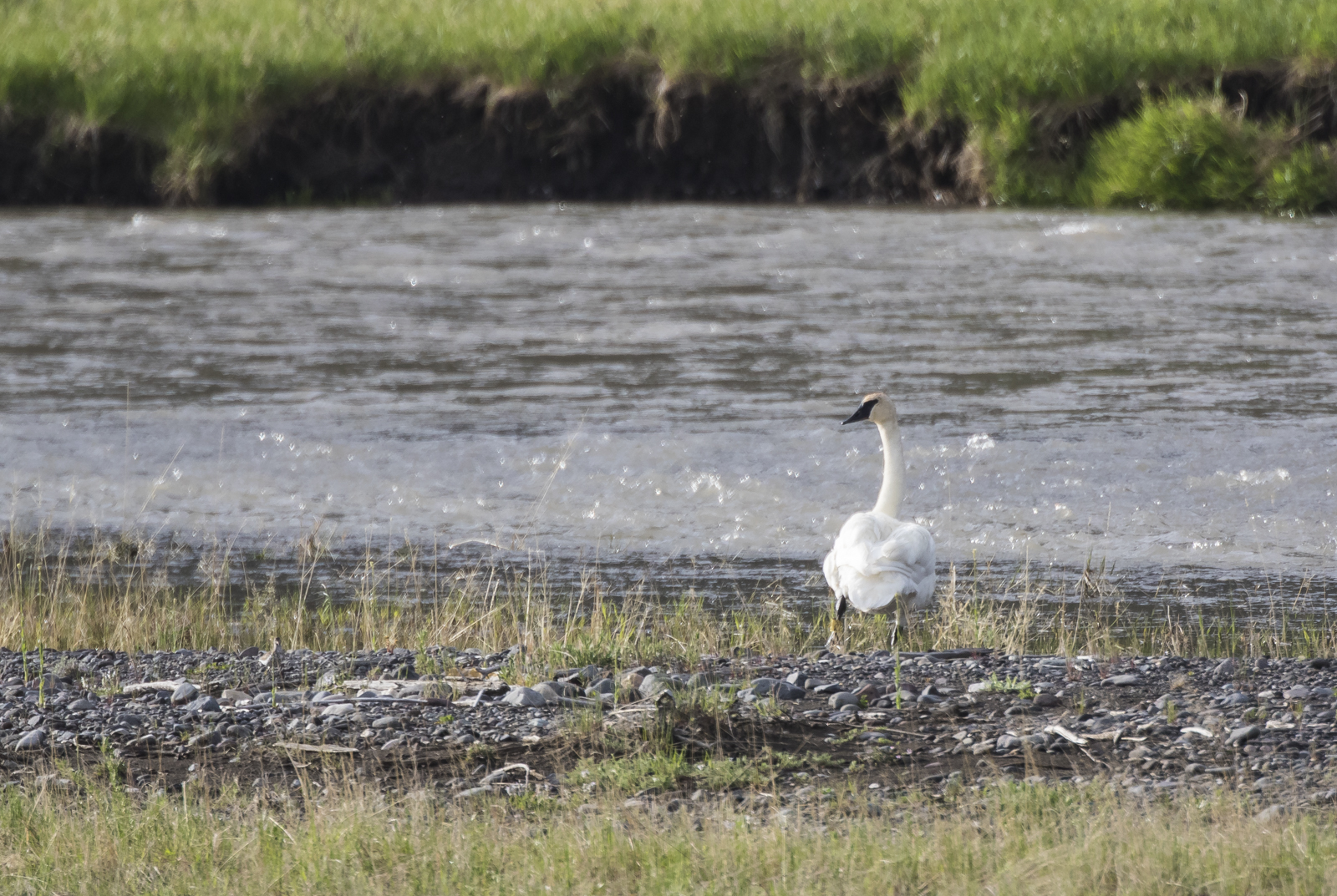 Trumpeter swan on Soda Butte Creek