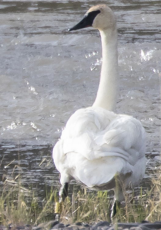 Trumpeter swan with leg band