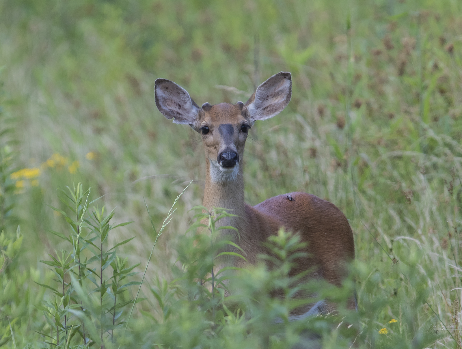 White-tailed deer at PLNWR