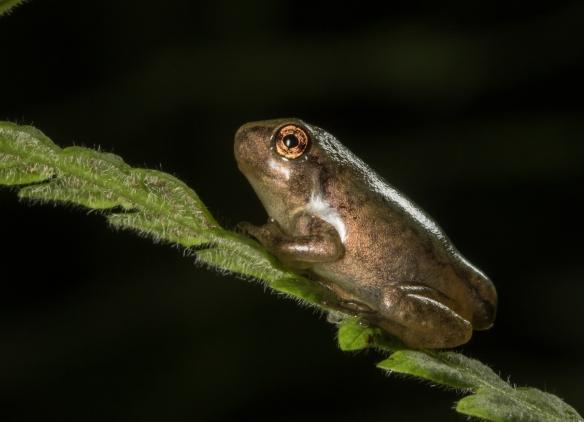 Copes gray treefrog froglet 2