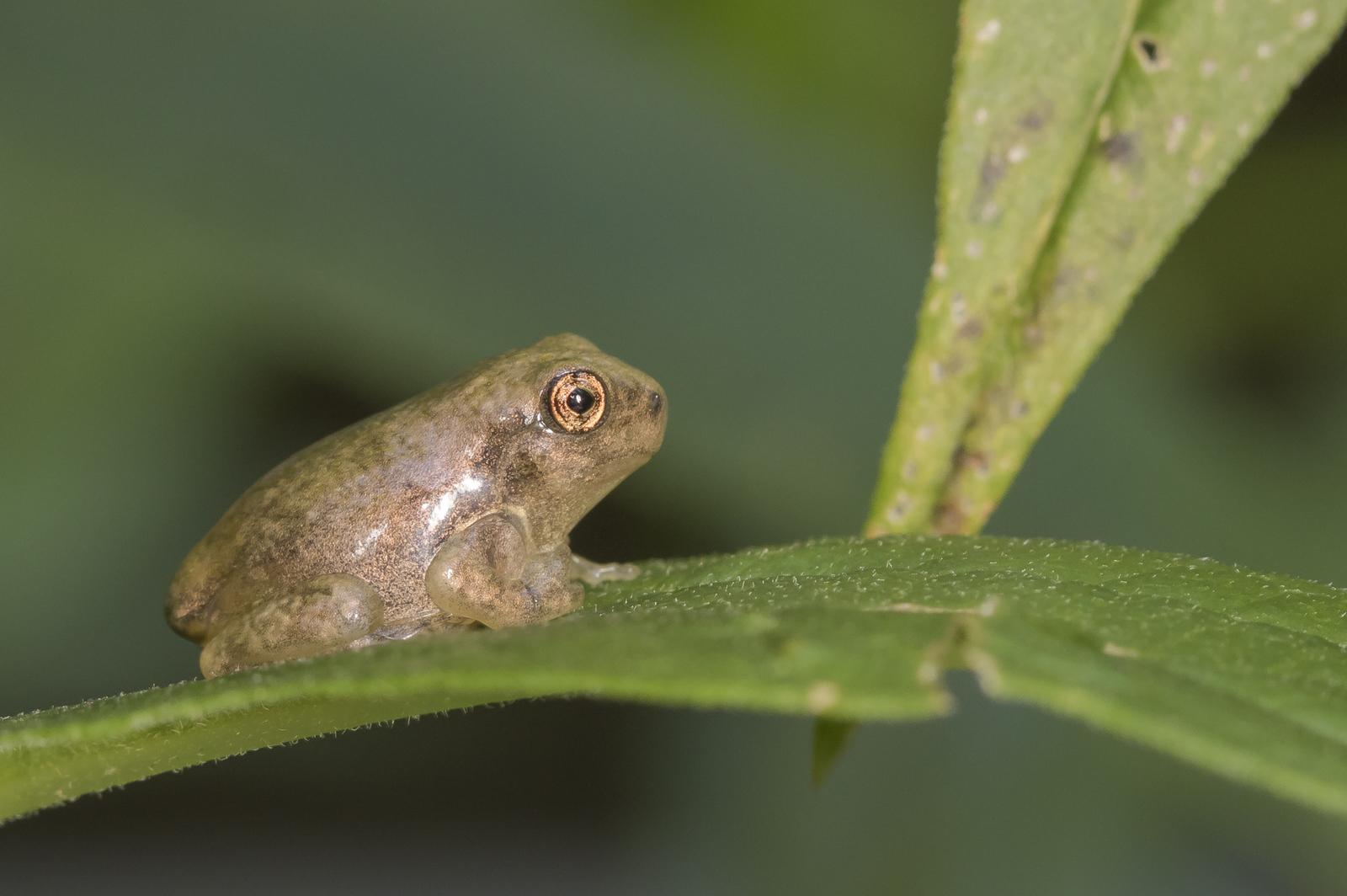 copes gray treefrog froglet 4