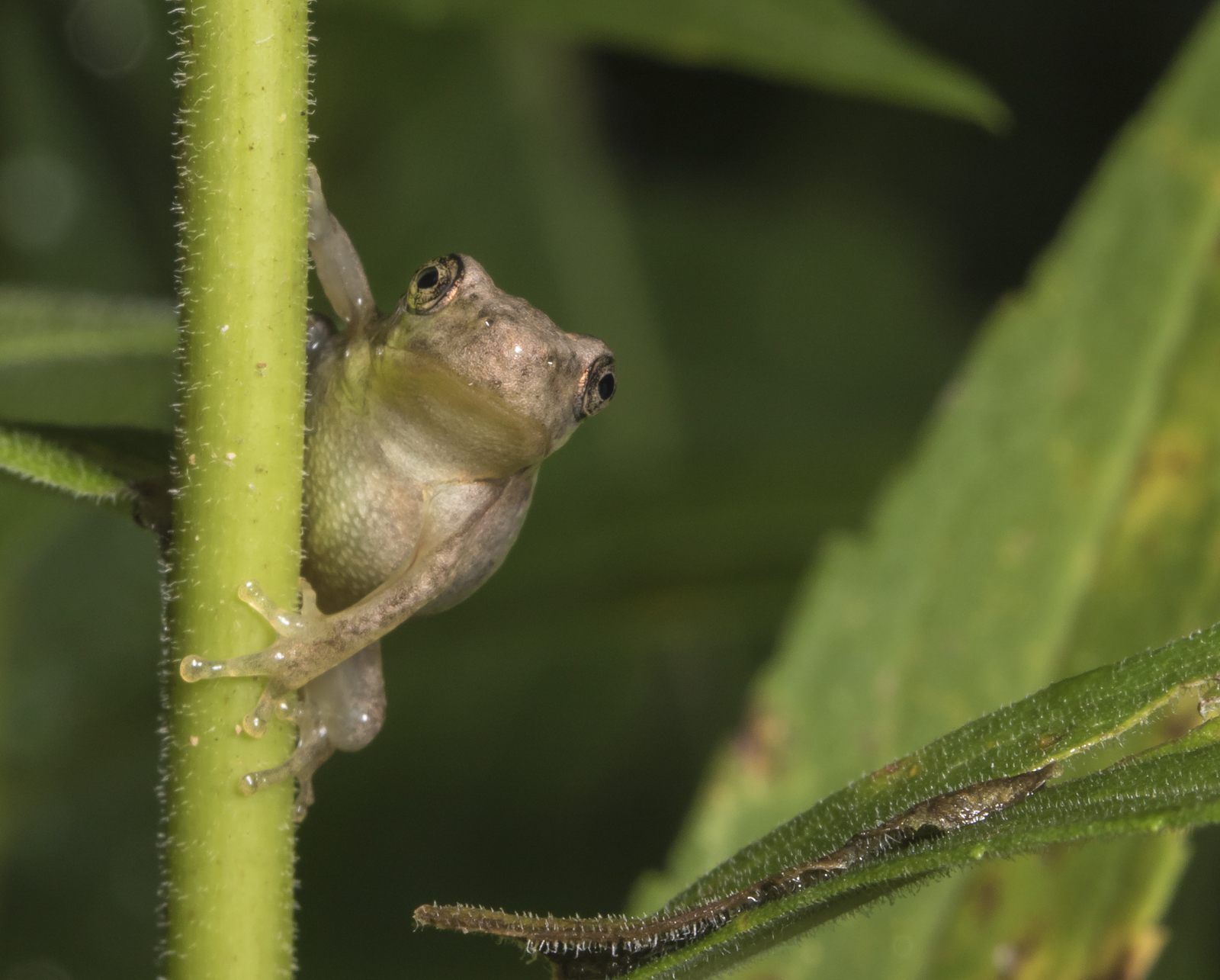 copes gray treefrog froglet  looking at camera