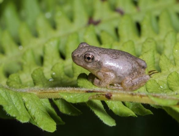 copes gray treefrog froglet  on fern 1