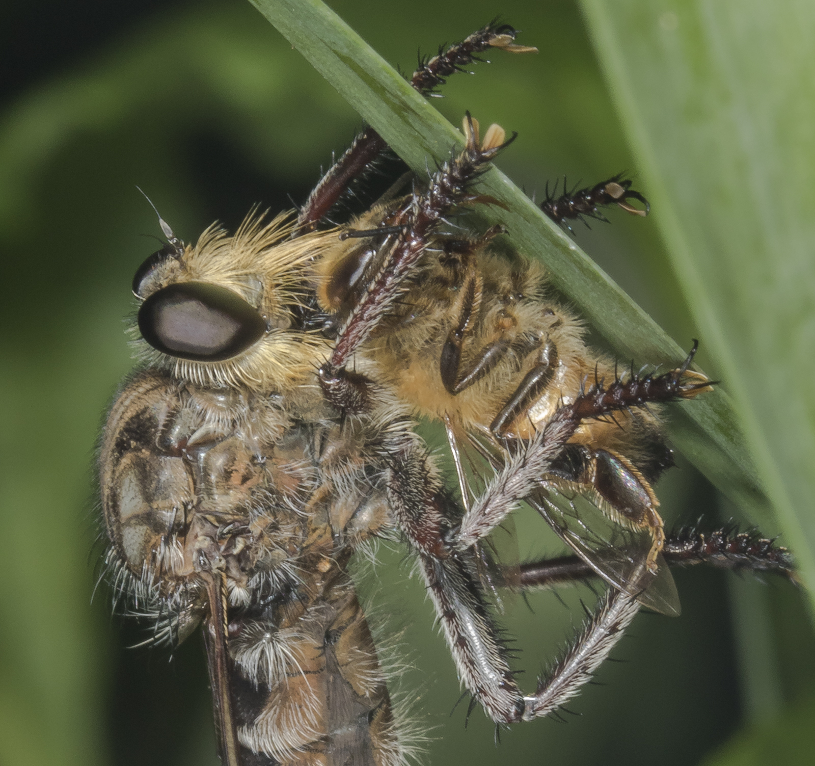 robber fly with honey bee