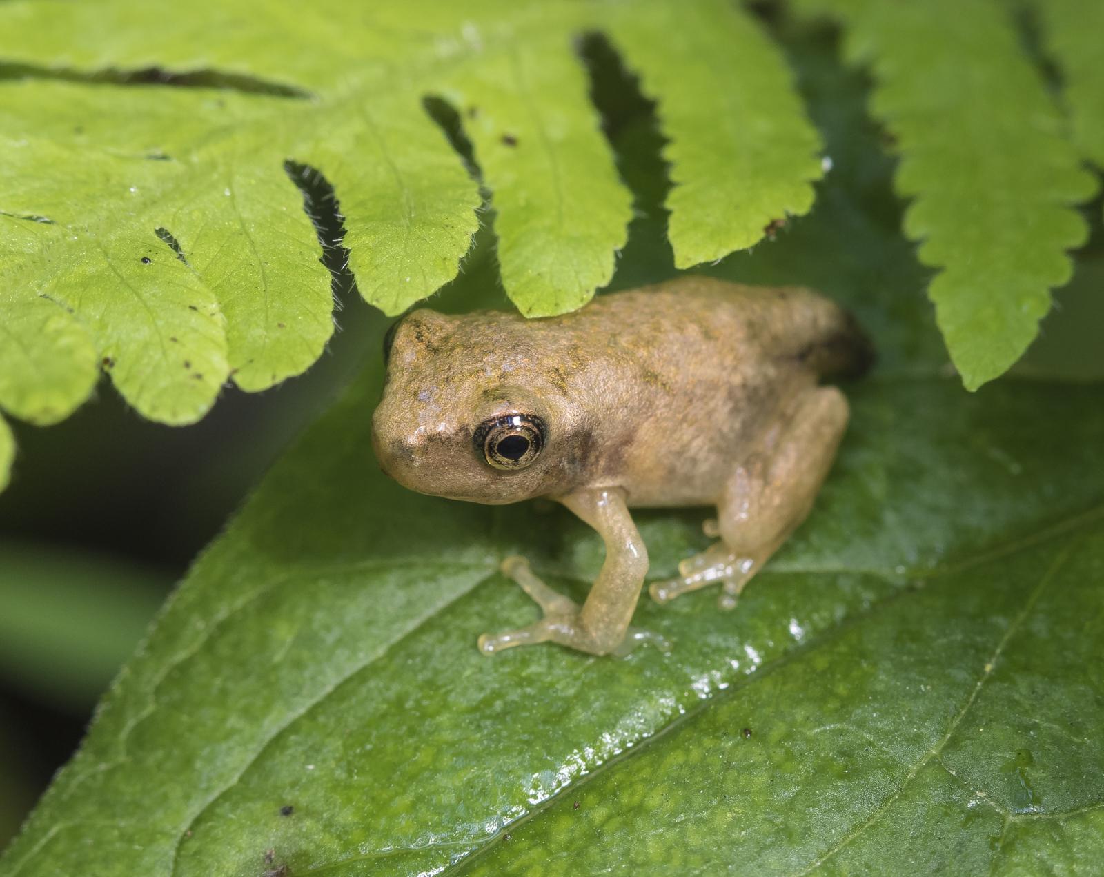 transformed froglet