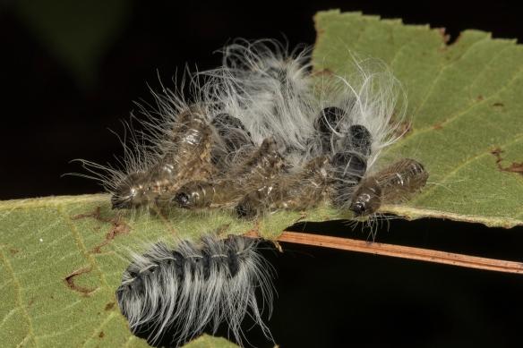 Walnut caterpillars 1