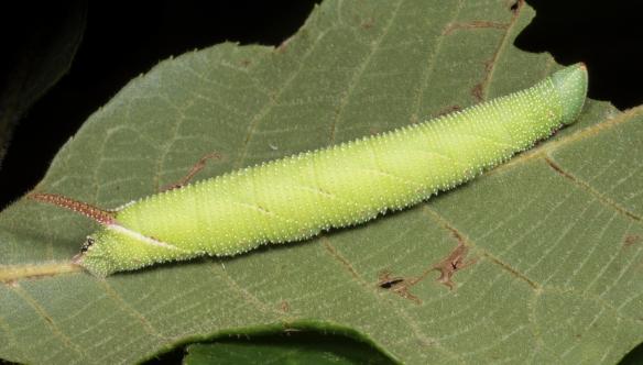 Walnut sphinx larva 1