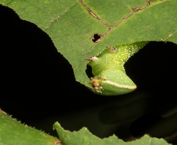 Walnut sphinx larva