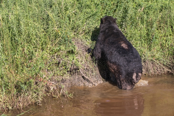 bear leaving canal