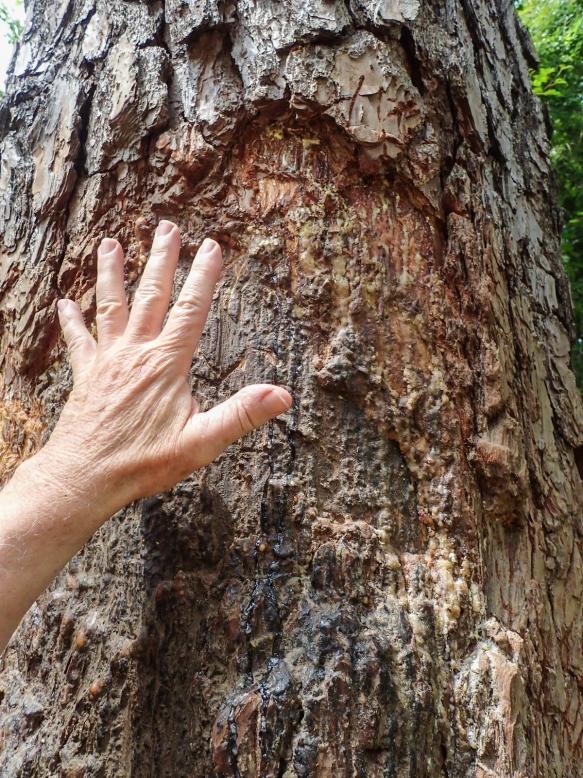 Bear marked tree