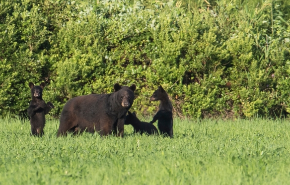 black bear and three cubs 1