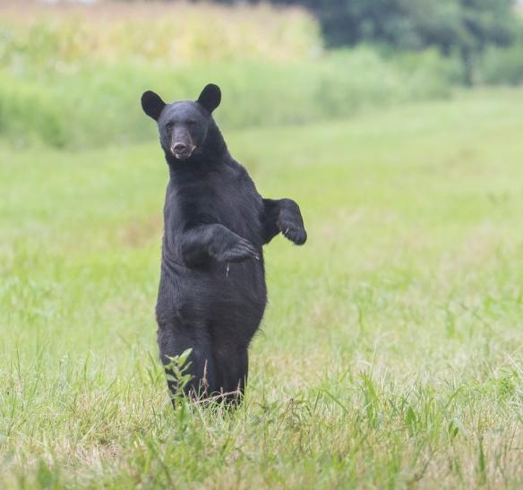 Black bear standing along Beart Rd