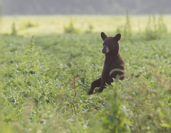 black bear standing in soybean field 1