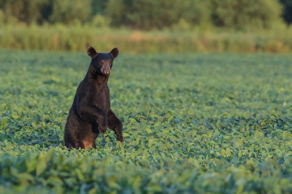 black bear standing in soybean field