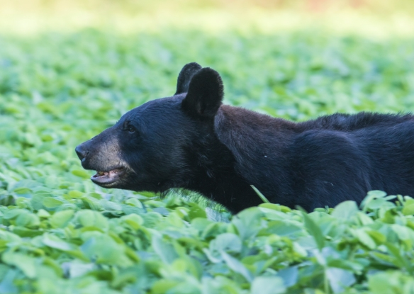 black bear walking in soybean field