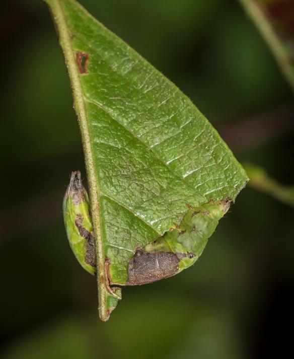 Chestnut Schizura on viburnum leaf