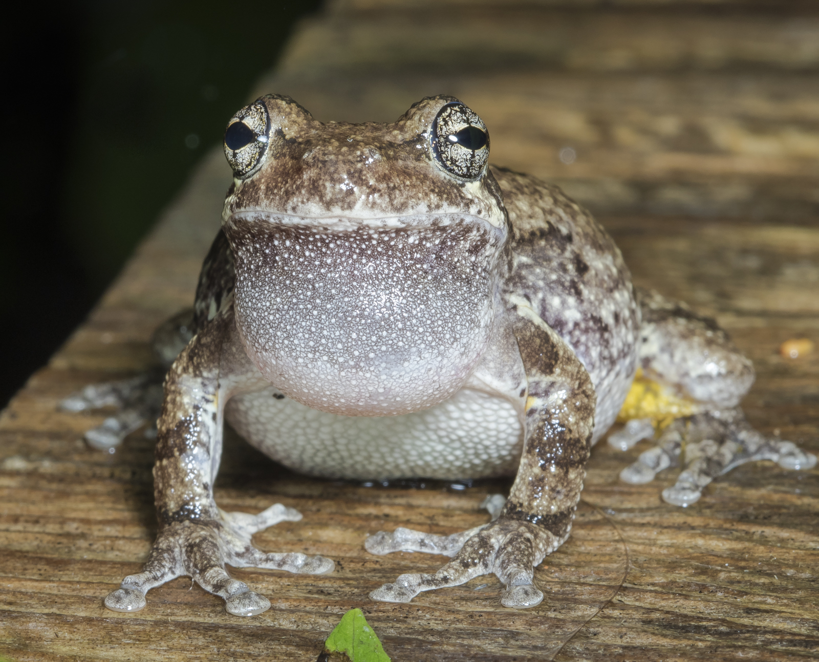 Cope's Gray Treefrog front view