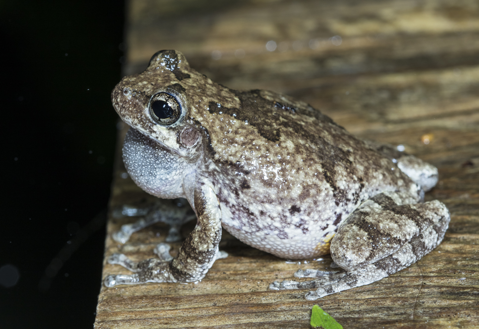 Cope's Gray Treefrog on walkway