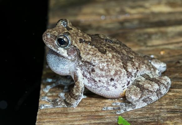 Cope's Gray Treefrog on walkway