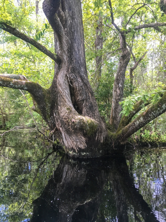 Cypress tree trunk on Upper Milltail Creek